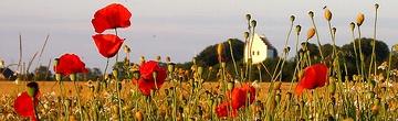 "Poppies referencing canadian war poet ""John McCrae""."