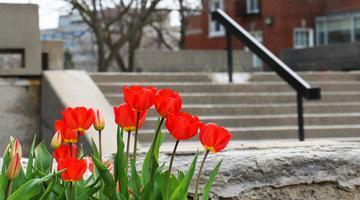 Red tulips on campus